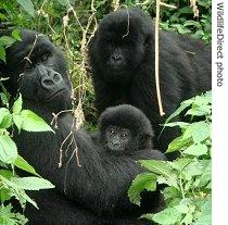 Gorilla family at Virunga National Park in DRC