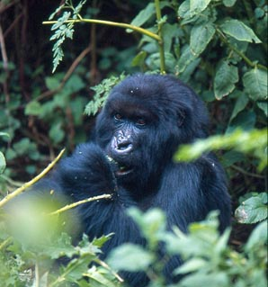 How a Mountain Gorilla should look. © Wildlifeextra