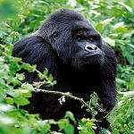 An adult male mountain gorilla in the Virunga Mountains, part of the Albertine Rift Ecoregion;