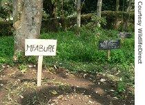 Dead infant gorilla named Mufabure is buried next to other killed gorilla at Rumangabo, headquarters for southern sector of Virunga National Park